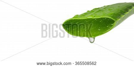 Aloe Vera Essential Oil Isolated On A White Background. Fresh Aloe Vera Leaves.