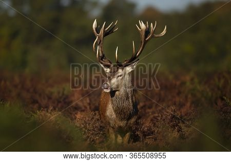 Close-up Of A Cheeky Red Deer Stag, Autumn In Uk.