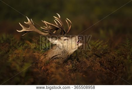 Close-up Of A Red Deer Stag Calling During Rutting Season In Autumn, Uk.