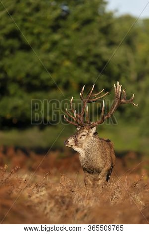 Close-up Of An Injured Red Deer Stag Standing In Ferns During Rutting Season In Autumn, Uk.
