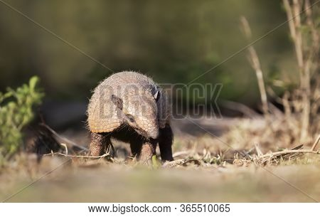 Close Up Of A Six-banded Armadillo (euphractus Sexcinctus) In The Field, South Pantanal, Brazil.