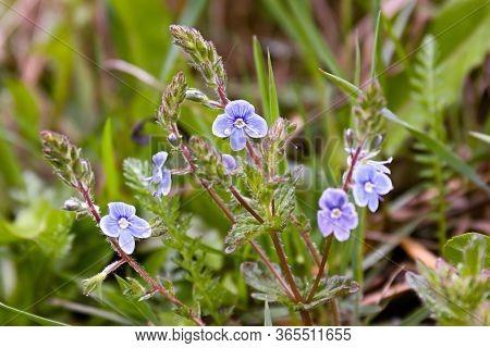Beautiful Blue Flowers Of Veronica Chamaedrys Germander Speedwell, Birds-eye Speedwell, Cats Eyes He