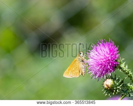 Large Skipper (ochlodes Sylvanus) Butterfly Sitting On Blooming Thistle Plant