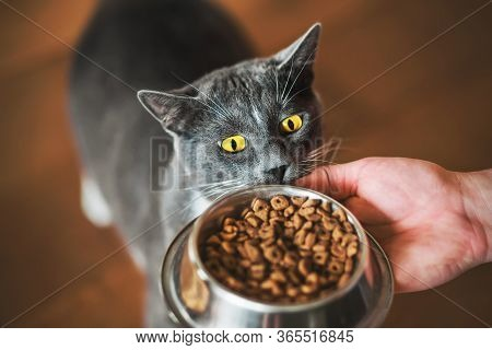 A Grey Domestic Hungry Cat With Yellow Eyes Looks At A Bowl Of Food Held In The Hand Of A Man. Pet F