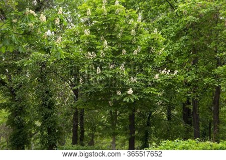 Beautiful Flowers Of Horse Chestnut. Spring Candles Chestnut. Spring Flowers On A Tree.