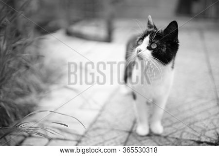 Cute Cat Walk In Courtyard On The Stone Floor. Maneki Neko Kitty. Bw Photo