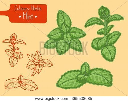 Branches Of Medicine And Culinary Herb Mint, Hand-draw Sketch Illustration