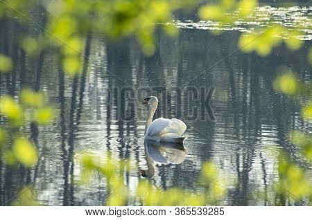White Swan In The Foggy Lake At The Dawn. Morning Lights. Romantic Background. Beautiful Swan. Cygnu