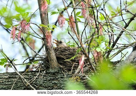 The Bird Hatches Out Eggs In A Nest.the Fieldfare (turdus Pilaris) Is A Member Of The Thrush Family