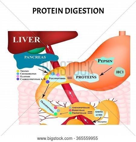 Protein Digestion. Protein Metabolism. Digestion In The Gastrointestinal Tract. Infographics. Illust