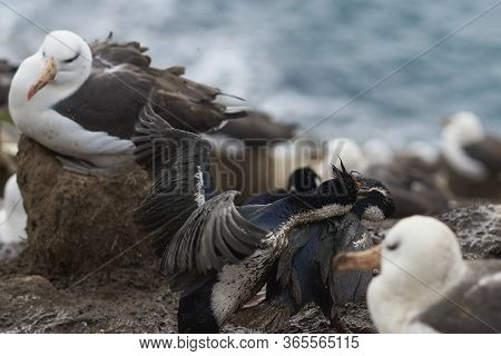 Pair Of Imperial Shag (phalacrocorax Atriceps Albiventer) Fighting Over A Nesting Site Amongst A Col