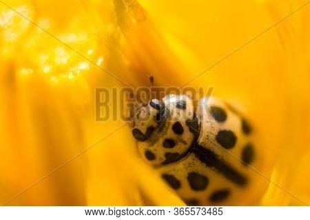 Little Ladybug In Macro Hid In Yellow Petals Of Dandelion. Concept Of Macroworld
