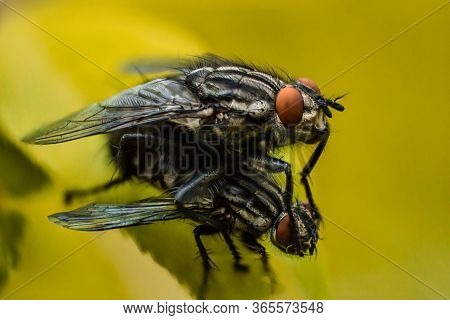 Two Flies On  Yellow Background