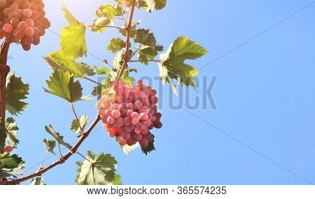 Ripe wine grapes on the vine on blue sky background. Horizontal banner with grapes of red and yellow color. Copy space for text