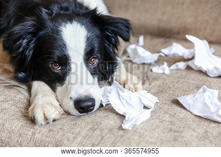 Naughty Playful Puppy Dog Border Collie After Mischief Biting Toilet Paper Lying On Couch At Home. G