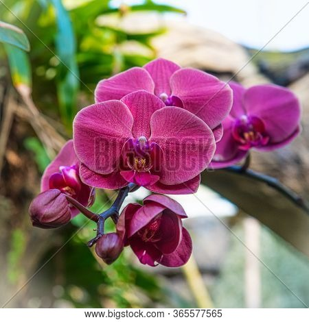 A Detailed Square Cropped Closeup Of A Magenta Colored Orchid.