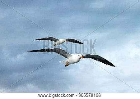 Seagull Lesser Black-backed Gull Larus Fuscus Two Flying In The Sky. Seagull Concept