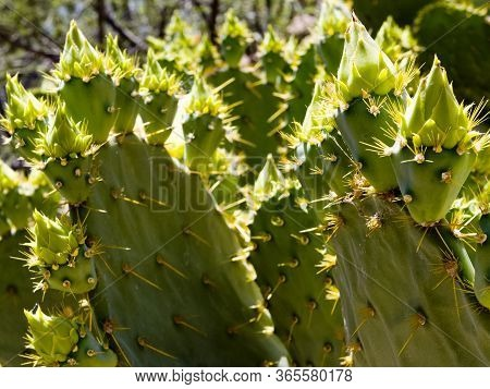 Beaver Tail Cactus In With Flower Buds, In The Mojave Desert