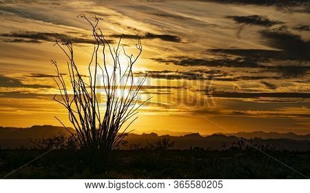 Ocotillo Silhouette At Sunset With A Dramatic Sky