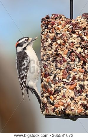 A Downy Woodpecker Clutches Onto A Cylinder Seed Feeder Pecking Away At Cranberries, Safflower, Pean
