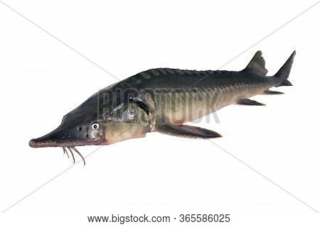 Sturgeon fish isolated on a white backgrounde. Left view. Fresh fish