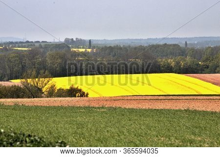 Colorful Scenery Of Czech Landscape, Yellow Field Of Oilseed Rape, Alley, On A Background Of Blue Sk