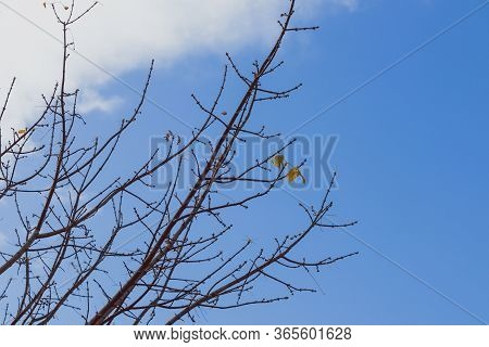 Bare Tree Branches With Only A Handful Of Autumn Leaves Left Hanging With Contrasty Weather Behind T
