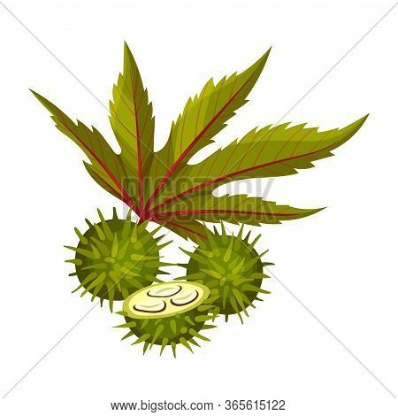 Ricinus Or Castor Oil Plant With Green Palmate Leaves And Red Fruit Vector Illustration