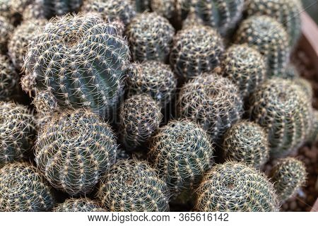 Succulents Or Cactus In Desert Botanical Garden. Succulents Cactus For Decoration.