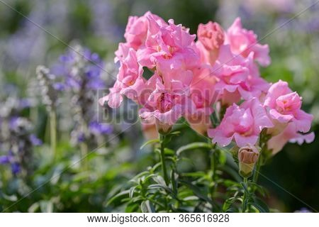 Snapdragon Flower In Flower Garden At Sunny Summer Or Spring Day. Pink Flower.