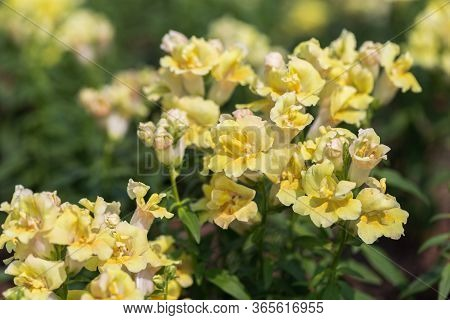 Snapdragon Flower In Flower Garden At Sunny Summer Or Spring Day. Yellow Flower.