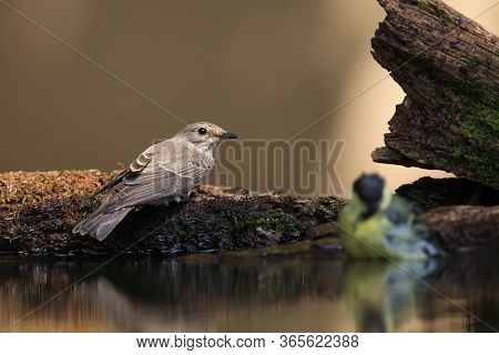 The Spotted Flycatcher (muscicapa Striata) Sitting On The Shore Of A Small Pond To Drink. Small Gray