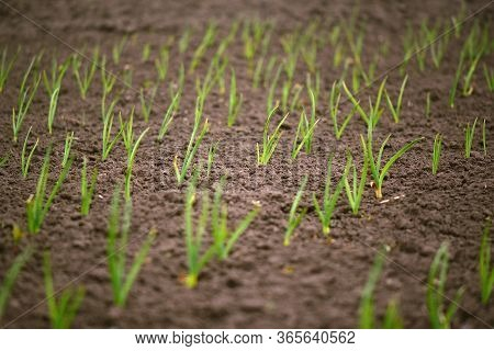 Green Onion Rows On The Field. Blurred Copy Space.