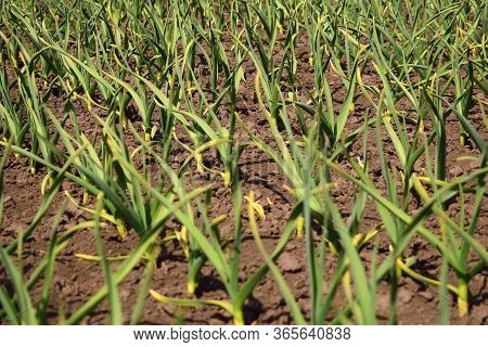 Garlic Plantation. Rows Of Plants In The Field. Organic Horticulture.