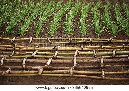 Organic Horticulture. Garlic Plantation In The Backyard Garden.  Lattice On The Foreground.