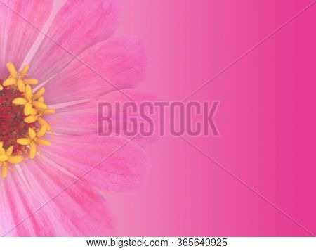 Greeting Card Background Design With Pink Gradient A Single Zinnia Flower And Space For Text, Trendy