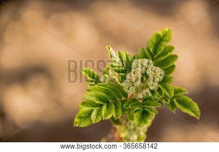 Fresh Young Rowan Leaves. Bunch Of Rowan Berries. Flowering Mountain Ash
