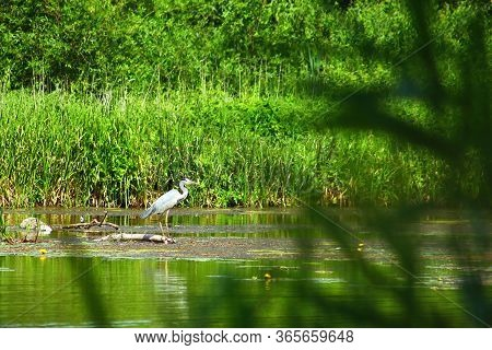 Gray Heron Ardea Cinerea On The River. View From The Bushes. Birdwatching