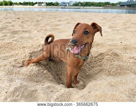 Little Puppy Dog Breed Miniature Pinscher Brown Resting On The Beach Sand Background Beautiful Portr