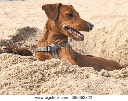 Puppy Dog Breed Pinscher Brown Resting On The Beach In Yellow Sand Portrait