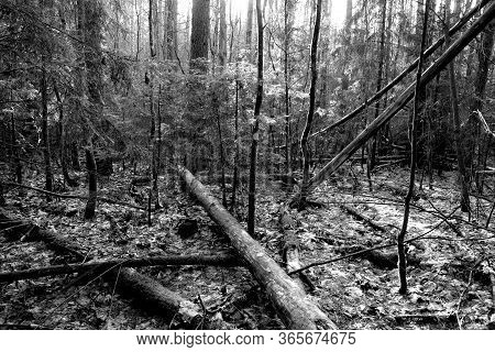 Fallen Trees In Wood. Natural And Wild Background