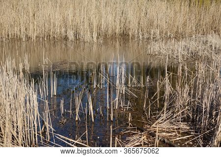 Dry Reed And In Lake Water. Natural Background