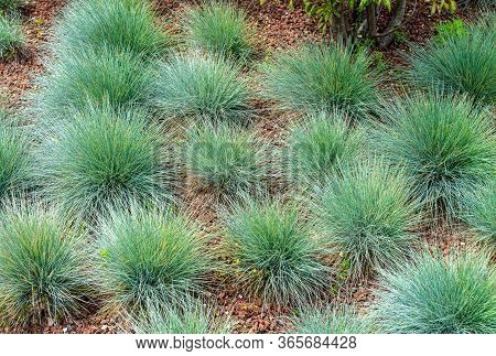 Festuca Glauca, Commonly Known As Blue Fescue, Is A Species Of Flowering Plant In The Grass Family,