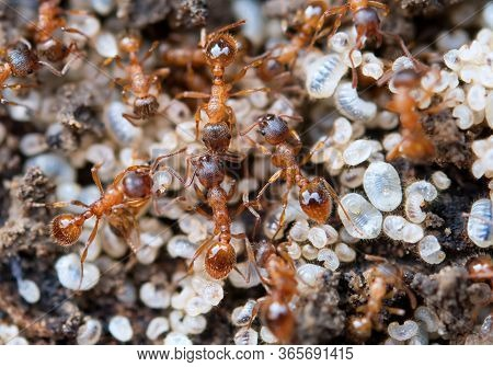 Ants Protecting Larva And Eggs, Extreme Close Up With High Magnification