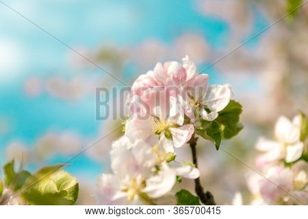 Closeup Of Branches Of Apple Blossom On A Blue Background, Blurred Background, Close Up, Selective F