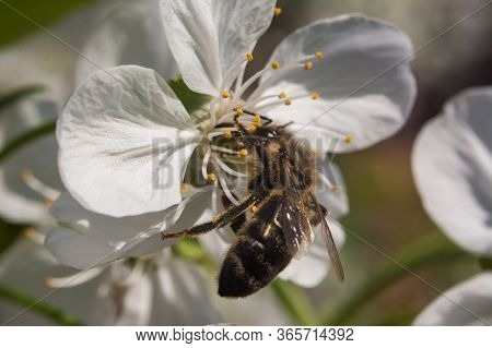 Cherry Blossom Macro With Bee Gathering Honey In The Sunlight