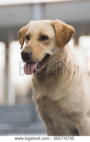 Animal Portrait Of Friendly Dog With Tongue.