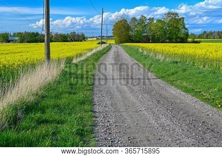 Gravel Road Through Fields Of Rapeseed Flowers