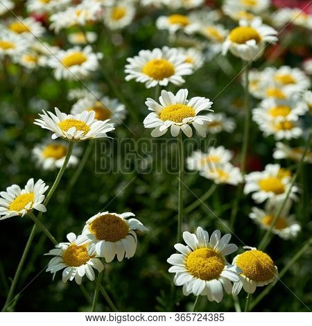 Flowering Marguerites In A Flowerbed In Summer