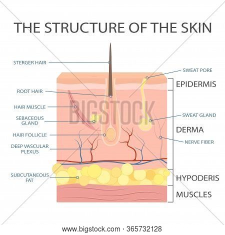 Human Skin Structure, Epidermis Anatomy. Vector Scheme Of Skin, For Cosmetological And Healthcare Il